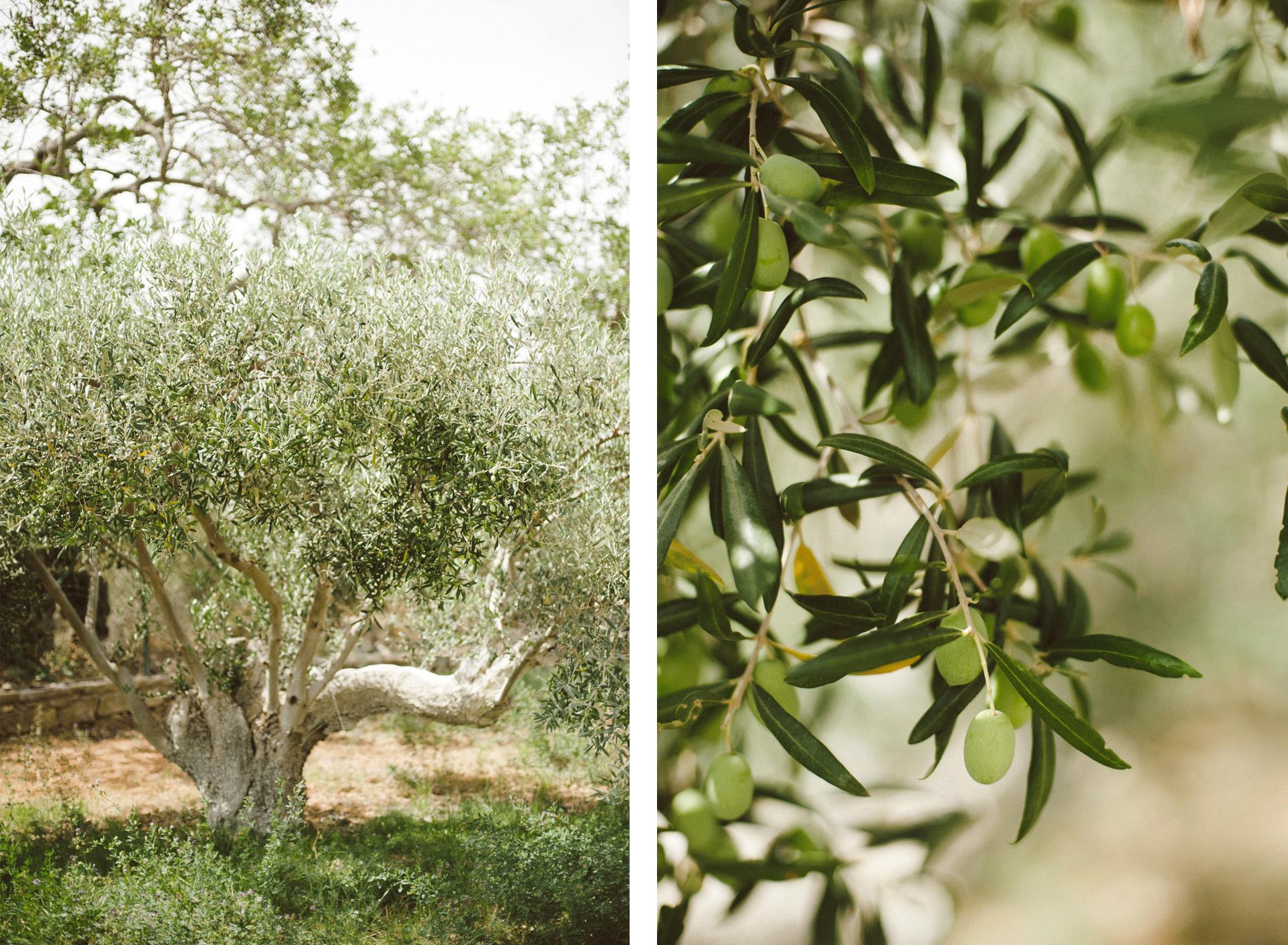 Olive orchard Algarve